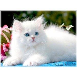 I Want A White Persian Kitten With Blue Eyes Pretty Cats Cute Cats Persian Kittens