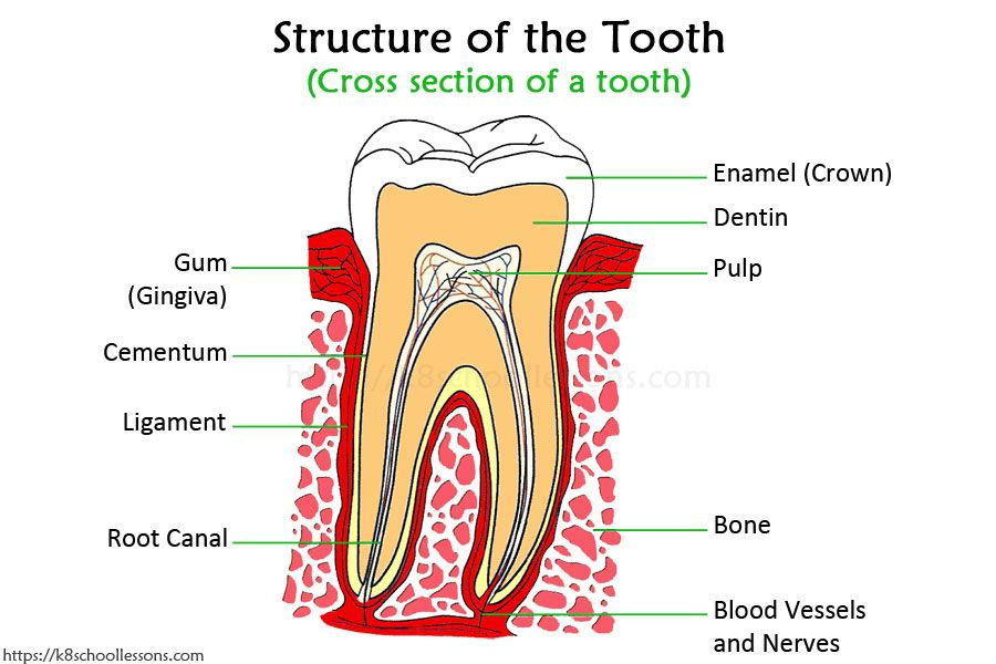 Human Tooth Structure For Kids Types Of Teeth Structure Of The Tooth Human Teeth Teeth Diagram Teeth