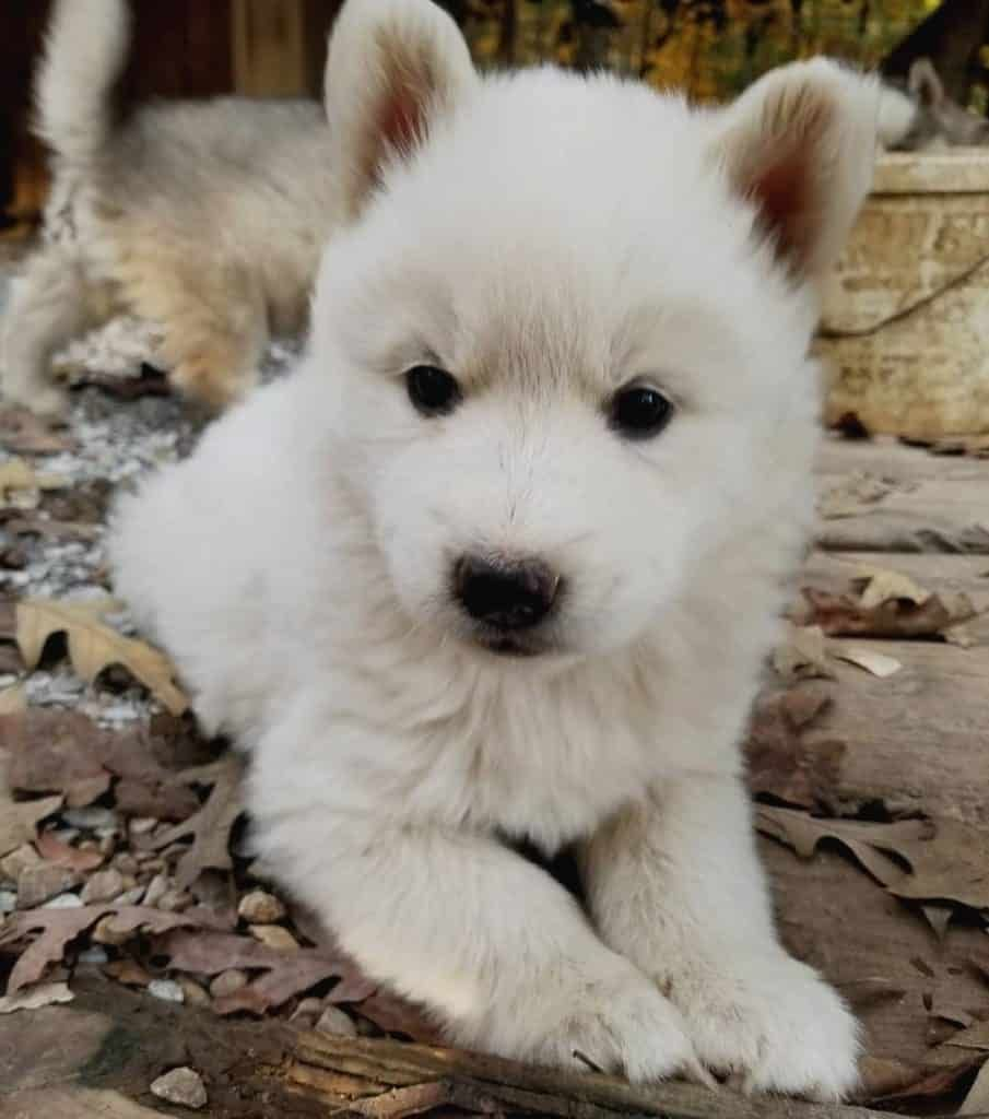 Malamute Husky Mix Vet Reviews 3 Reasons To Avoid Puppies For Sale In New Jersey At Breeders Club Of A In 2020 Husky Mix Siberian Husky Puppies Golden Retriever Husky