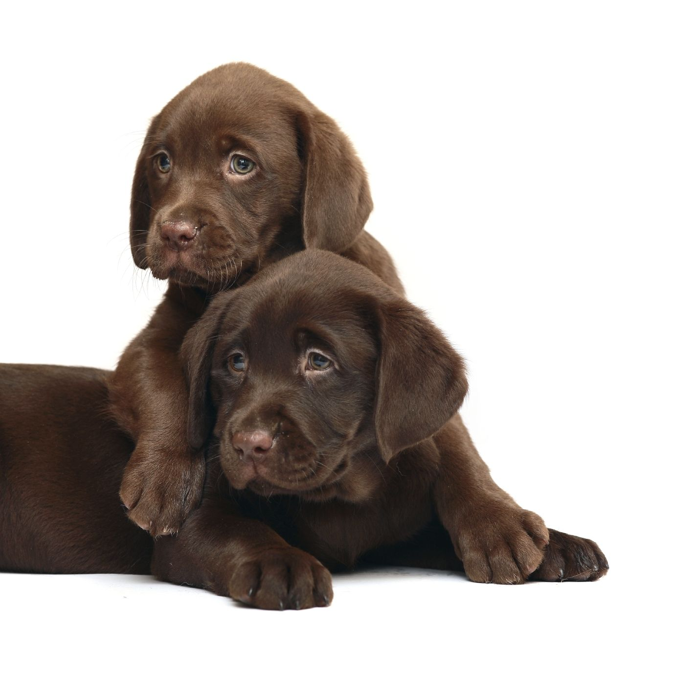 Chocolate Labs Chocolate Lab Puppies Cute Dogs Lab Puppies