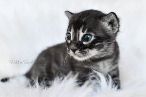 Bengal Kittens & Cats for Sale Near Me | Wild & Sweet Bengals