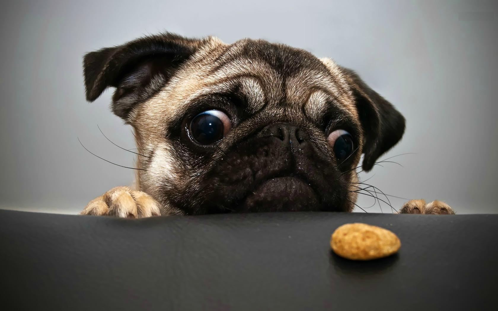 Pug Will Power Cute Pugs Pug Puppies Dog Wallpaper