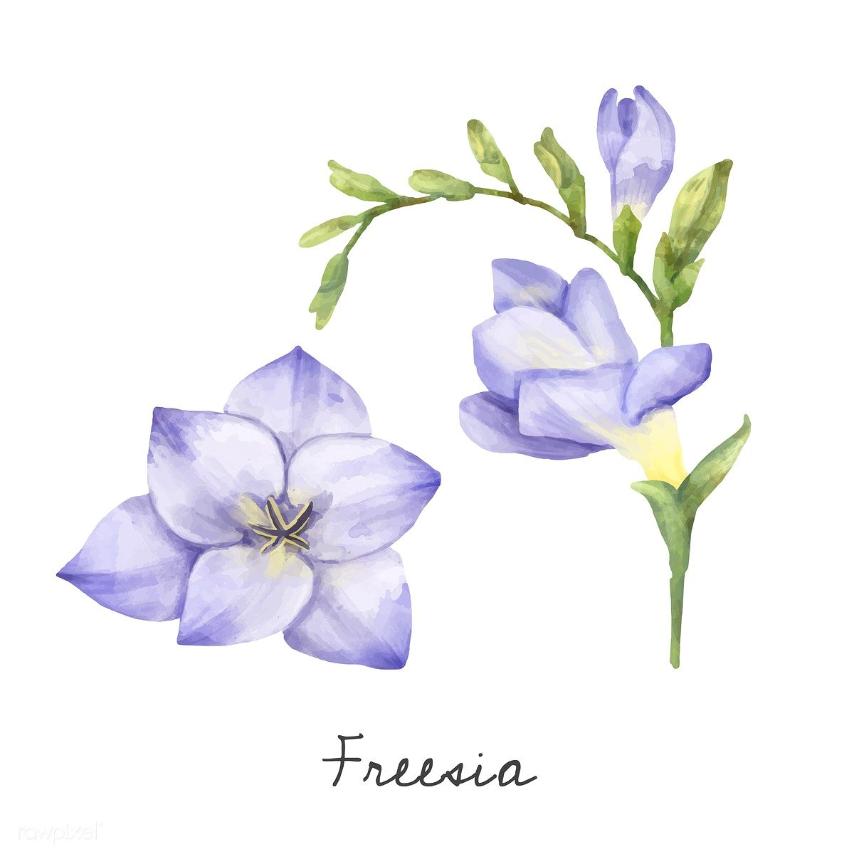 Illustration Of Freesia Flower Isolated On White Background Free Image By Rawpixel Com Flower Illustration Freesia Flowers Plant Illustration