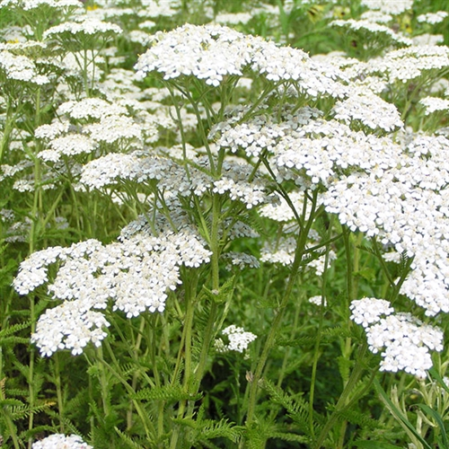 Common Yarrow Yarrow Plant Achillea Yarrow