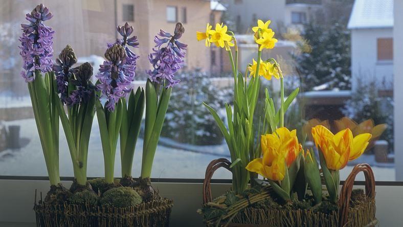 Hiacynty Doniczkowe W Domu Jak Je Pielegnowac By Kwitly Jak Najdluzej Table Decorations Plants Decor