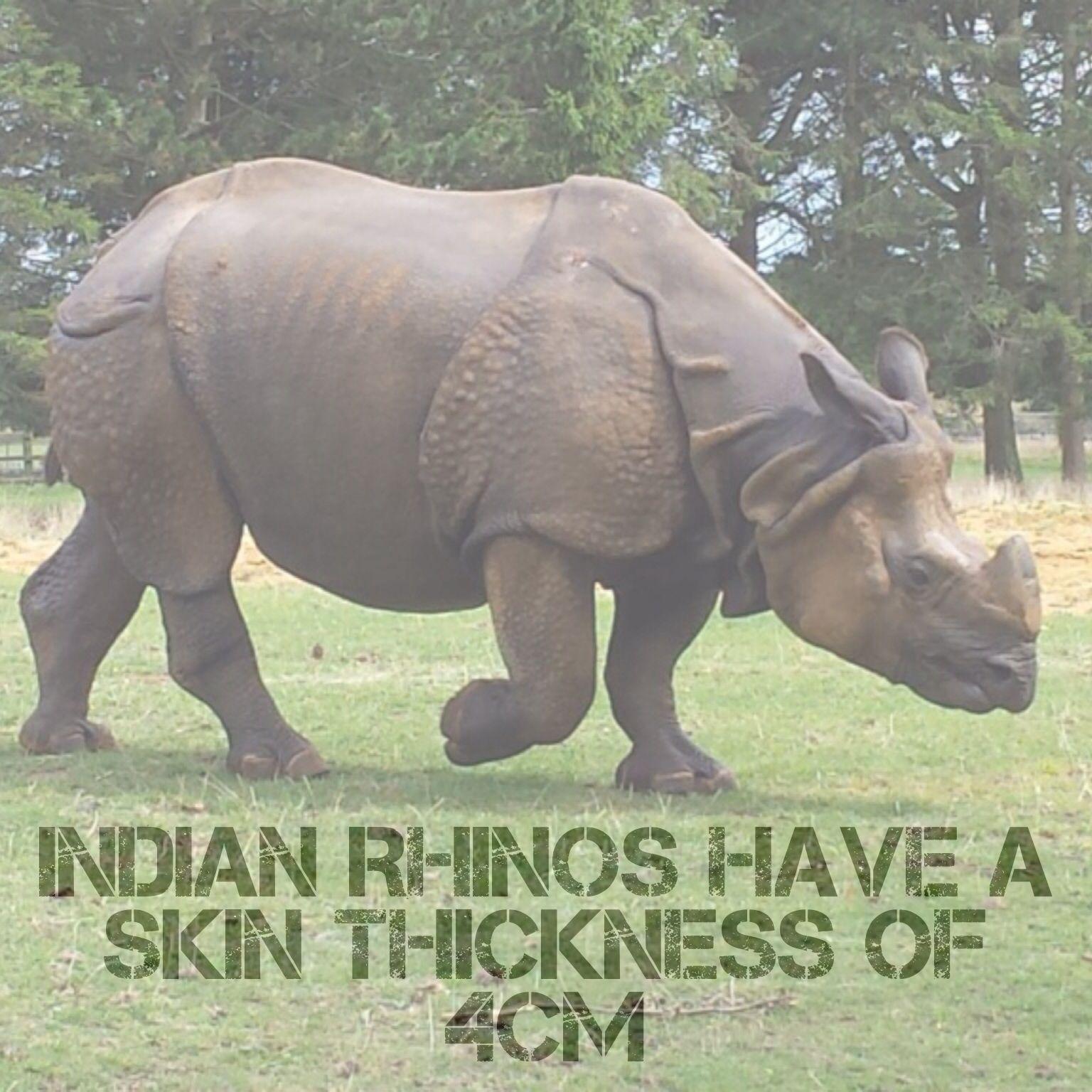 Indian Rhinos have a skin thickness of 4cm #rhino #rhinos