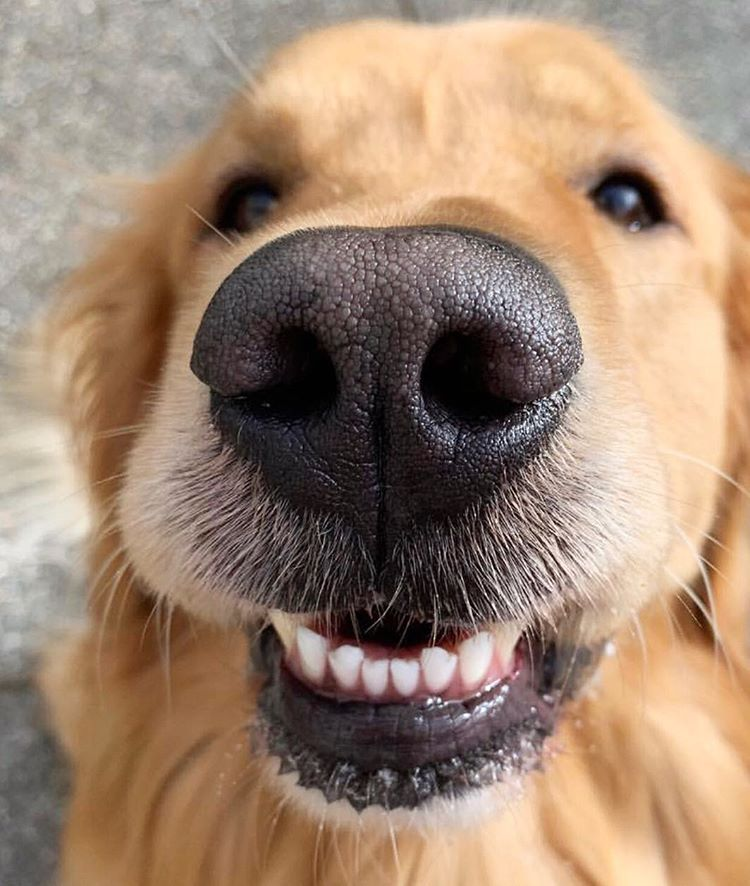 Golden Retriever Pup Trying Out His New Teeth Cute Animals Cute