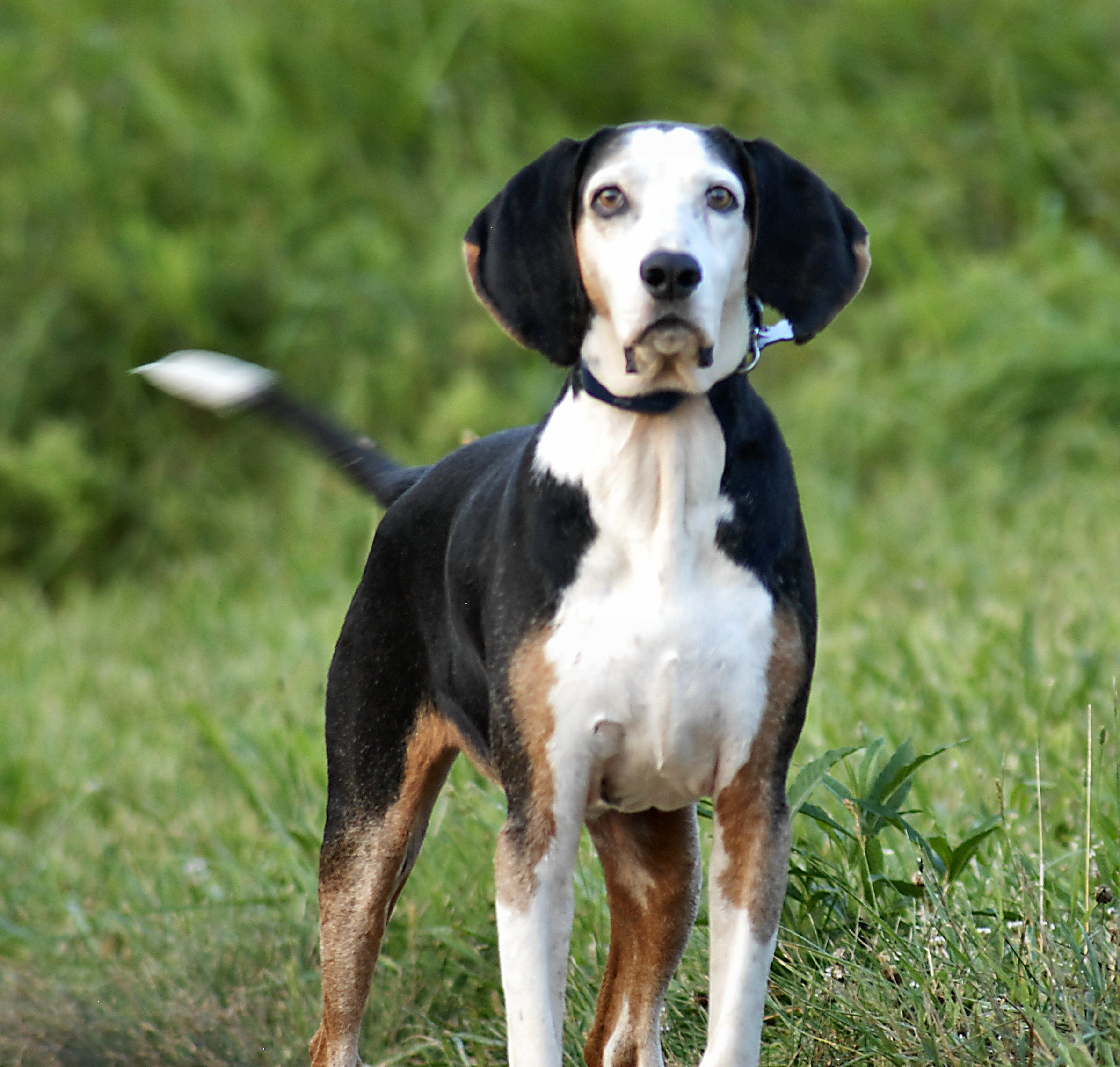 """Lao Dan, our deceased adopted stray Tennessee Treeing Coon Hound, named after Lao-Tzu whose name means, """"Old Long Ears"""".  Lat-Tzu was the reputed author of the Tao Te Ching and founder of Taoism.  BelizeHank"""
