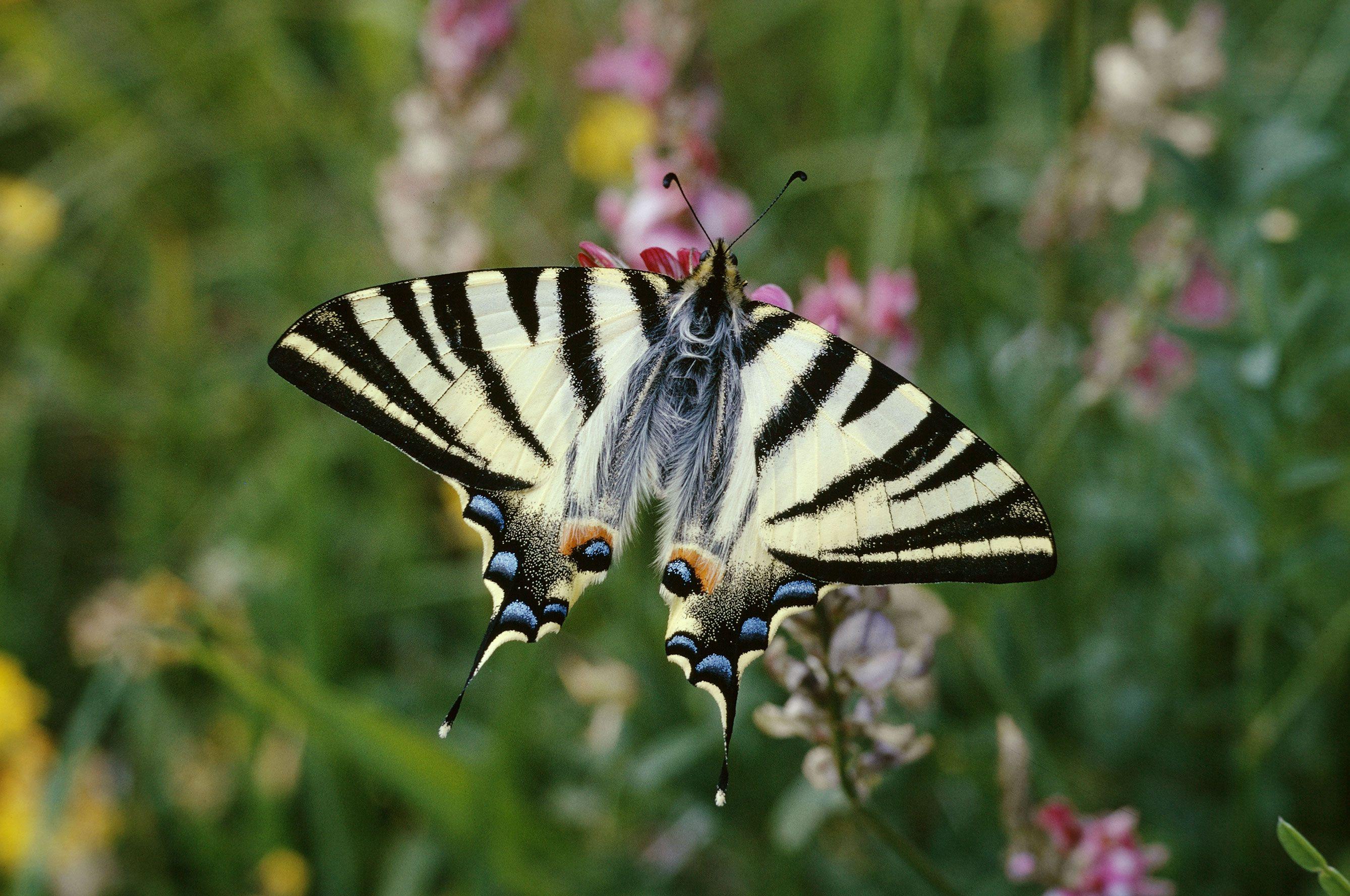 Papilio Machaon In 2020 Schmetterling