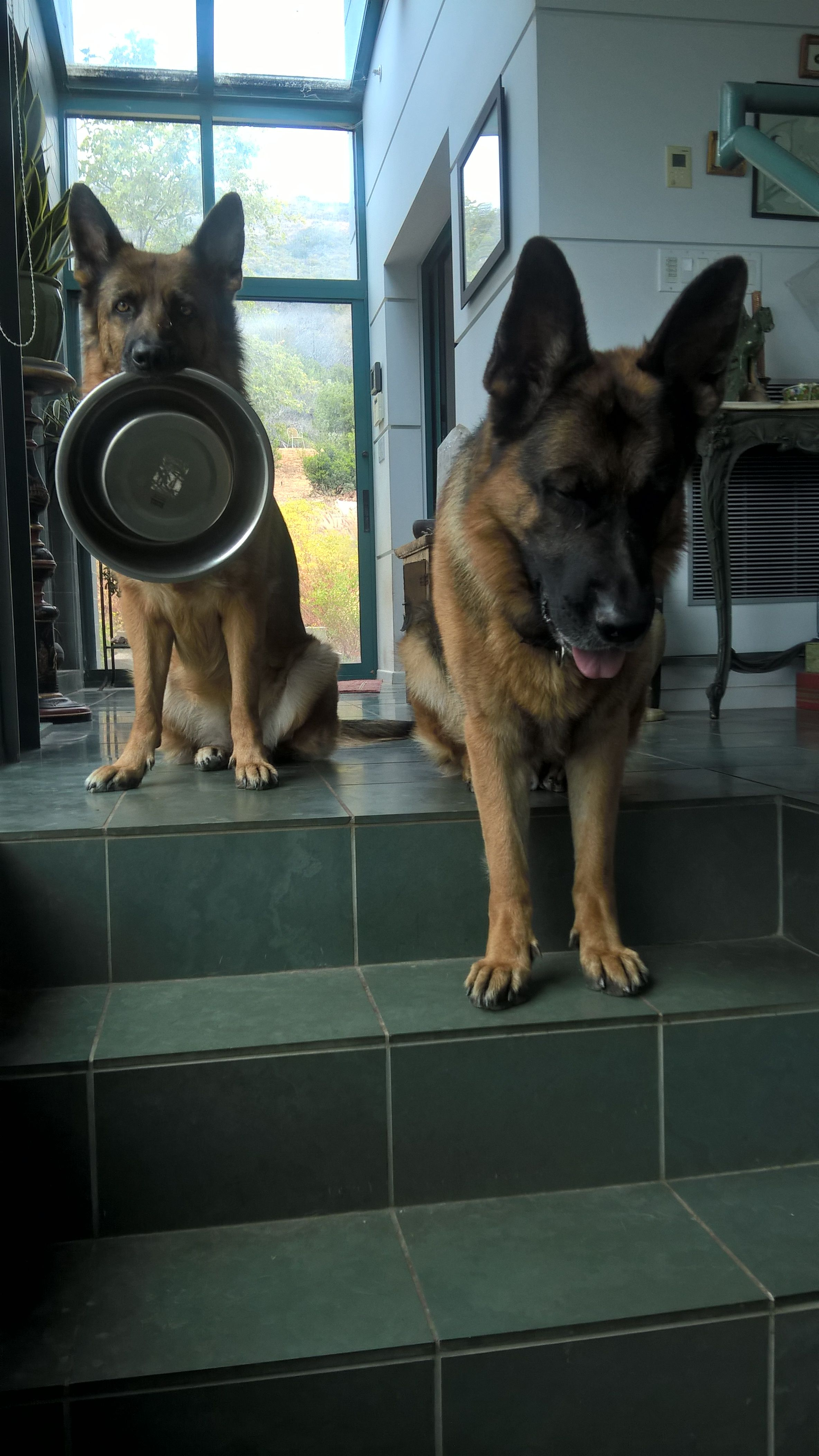 I Just Came Home To This German Shepherd Dogs Shepherd Dog Dogs