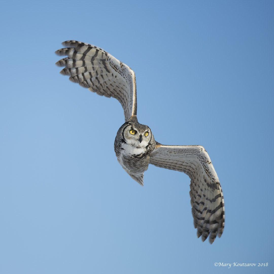 Horned Owl In Flight By Mary Koutzarov Horned Owl Owl Great Horned Owl