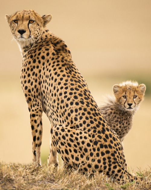 "beautiful-wildlife: "" Familia Guepardo by Igor Altuna """
