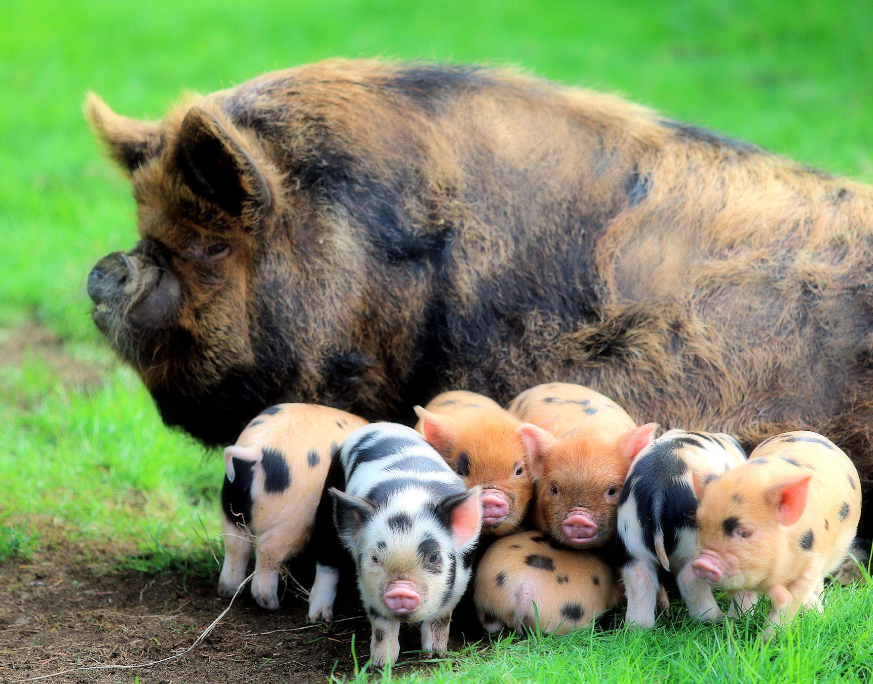 American KuneKune Pig Society Home Barn animals, Pig