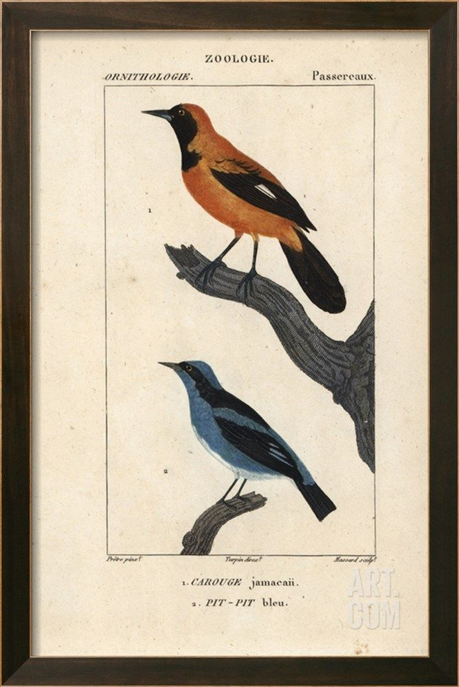 For Example Only Of Frame Size 16 X 25 Image W 1 25 Frame 18 X 37jamaican Oriole And Blue Dacnis From S Poster Prints Fine Art Prints Science And Nature