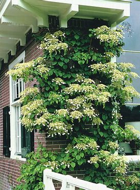 hydrangea petiolaris or climbing hydrangea is another. Black Bedroom Furniture Sets. Home Design Ideas