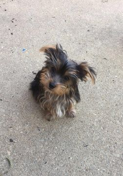 Litter Of 3 Yorkshire Terrier Puppies For Sale In Montgomery Al