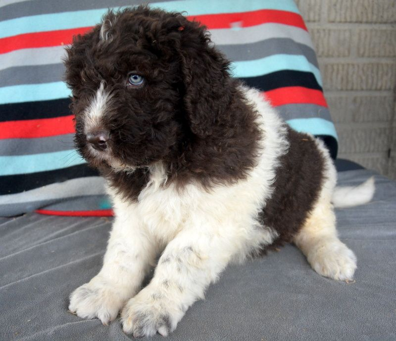 Gorgeous Newfypoo Puppies Up For Adoption Newfiedoodle