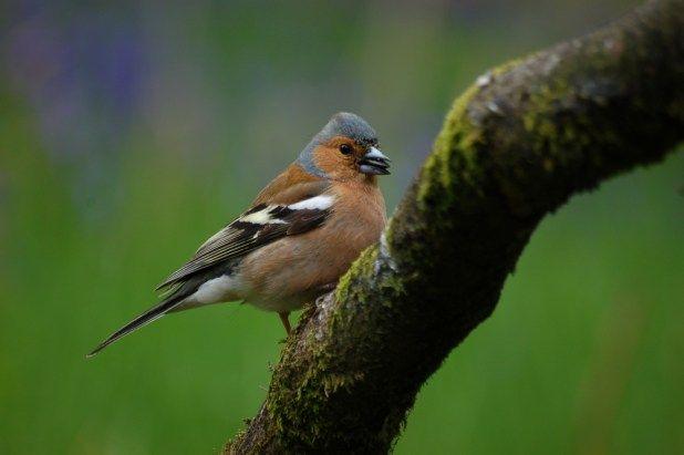 الحسون الظالم او طائر البانسو كل ماتود معرفته حول هذا العصفور طيور العرب Animals Bird