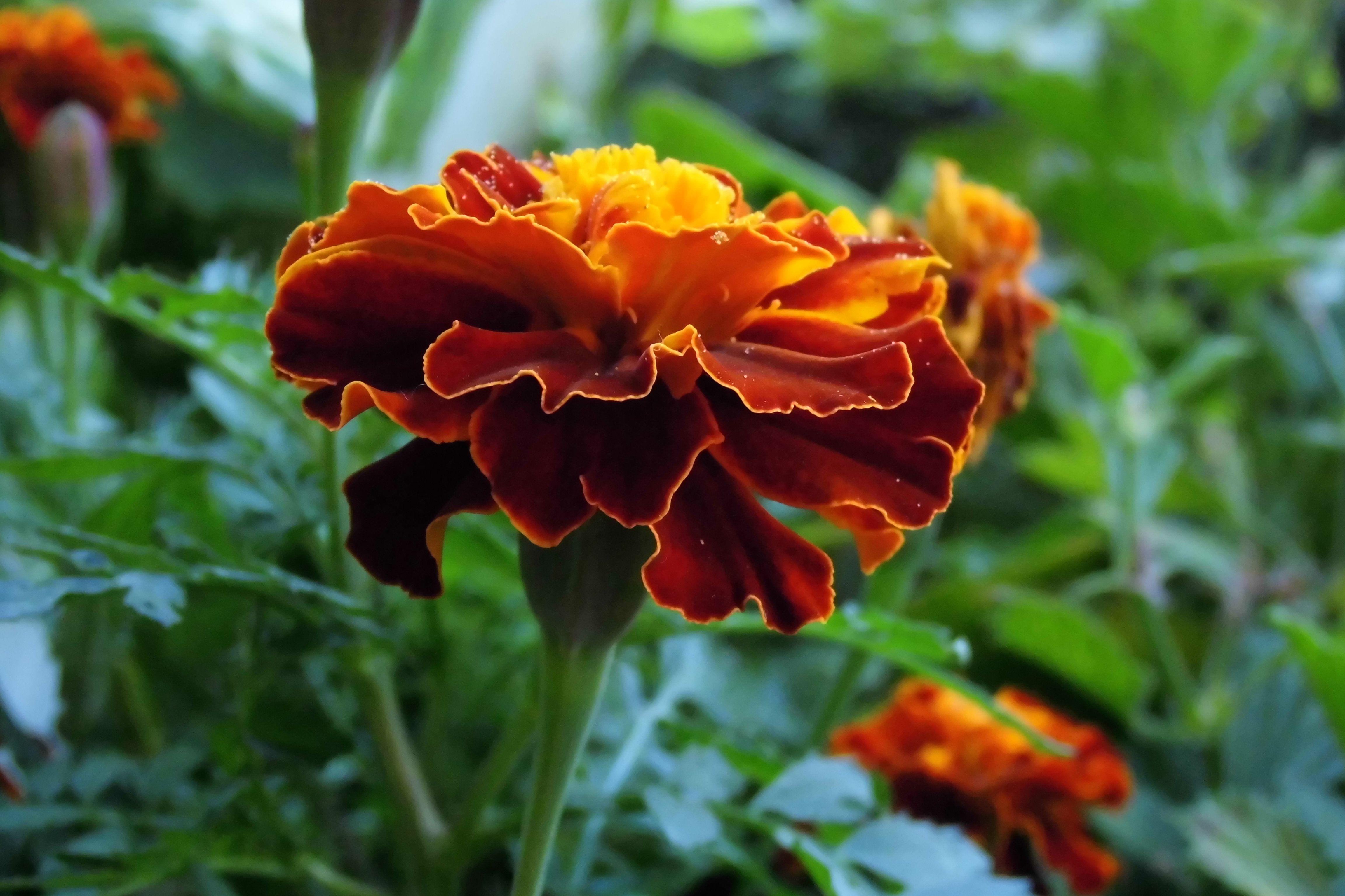 Tagetes, auch Studentenblume, Sammetblume oder türkische Nelke