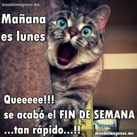 Frases Con Imagenes De Manana Es Lunes Chistosas Jpg 445 445 Cats Crazy Cats Funny Cute Cats