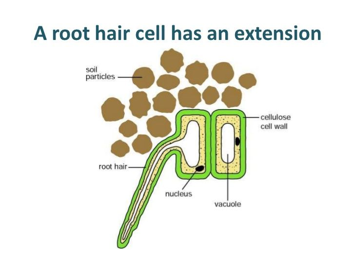 Plant Root Hair Cell Model