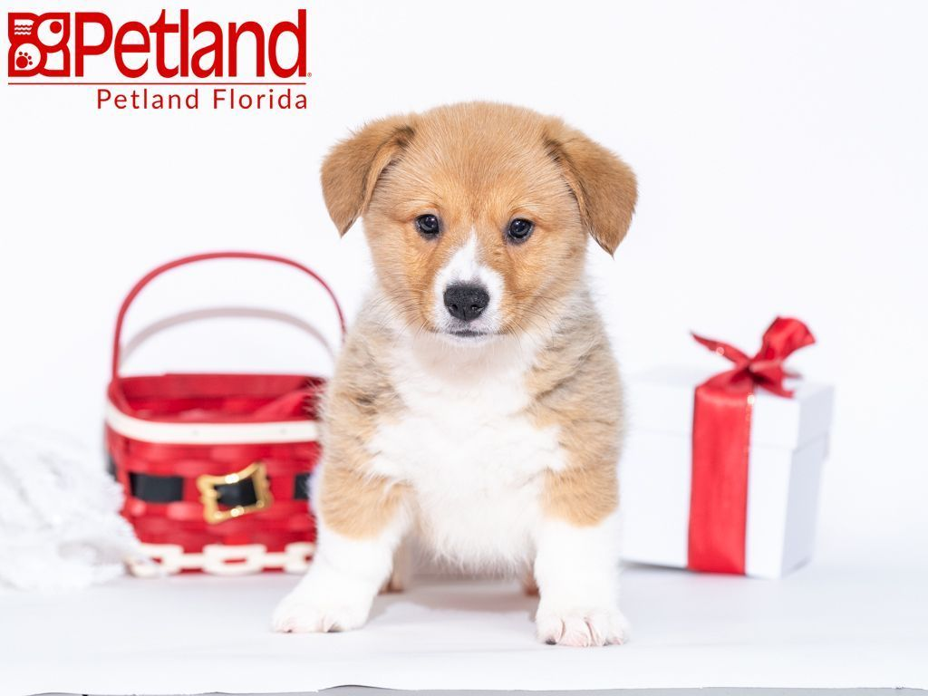 Petland Florida Has Pembroke Welsh Corgi Puppies For Sale Check Out All Our Available Puppies Pemb Pembroke Welsh Corgi Corgi Pembroke Welsh Corgi Puppies