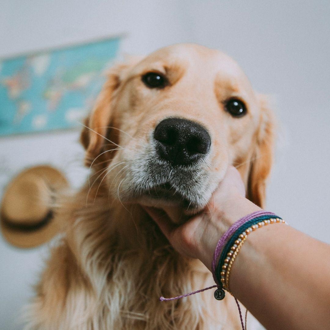 Who S A Good Boy Puravidabracelets Pvpets Goodboy Cute Animal Memes Cute Animals Puppies