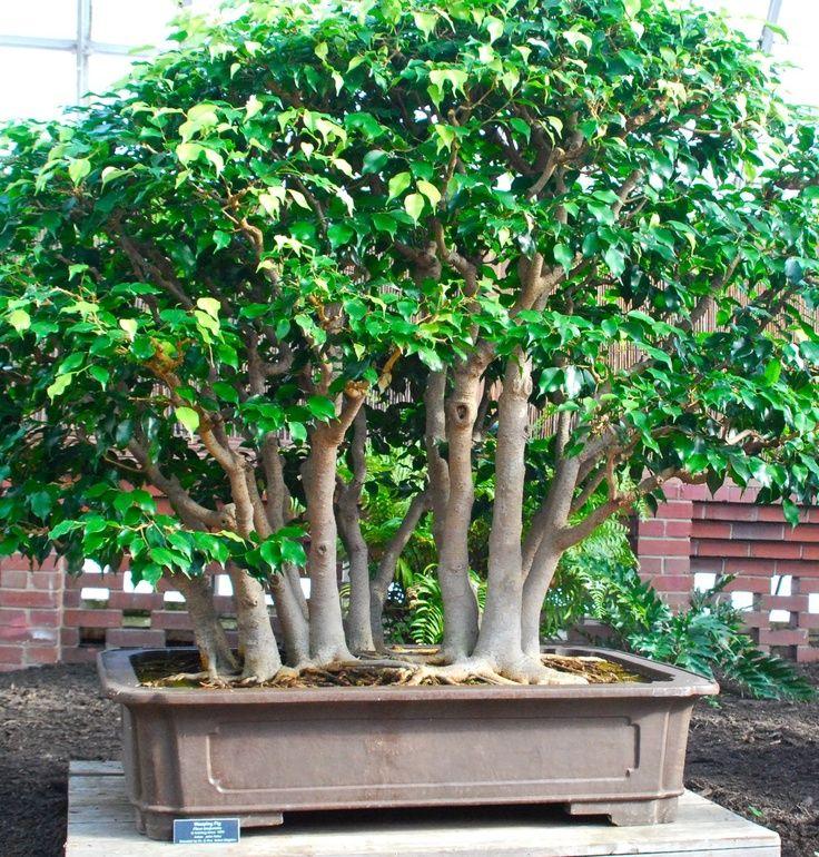 Ficus Benjamina Bonsai Căutare Google Bonsai Tree Bonsai Tree Types Bonsai Forest