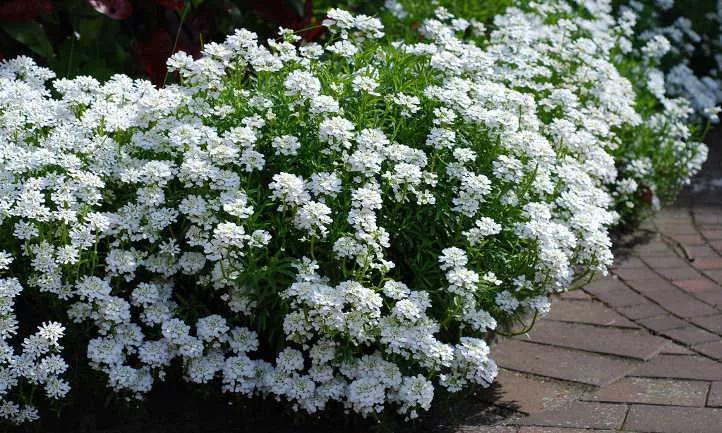 Candytuft Easy Growing Perennial Border Plants Epic Gardening In 2020 Perennial Border Plants Plants Perennials
