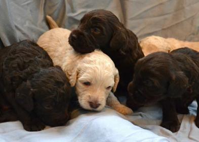 Please Like Us Labradoodle Retriever Puppy Dogs Golden Retriever