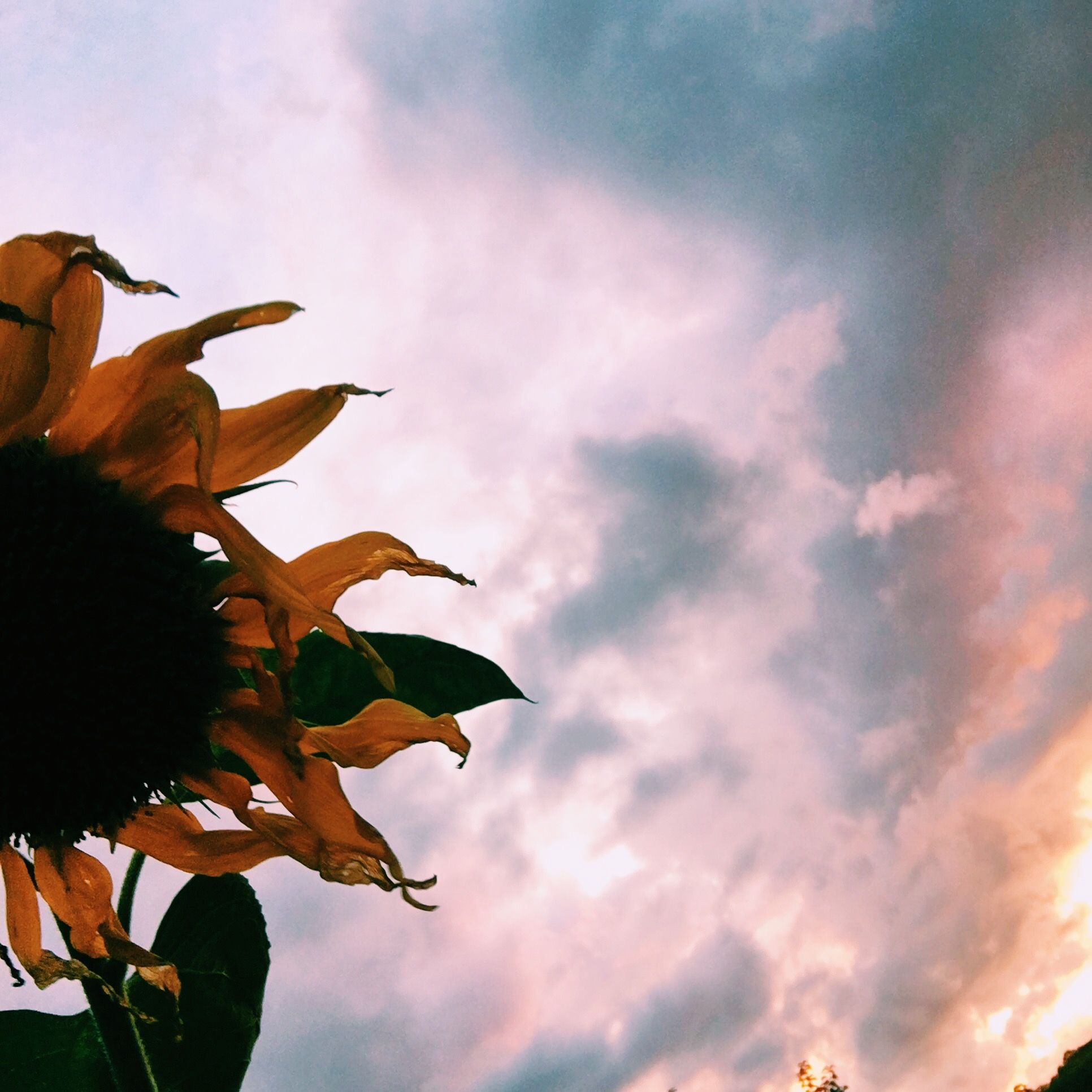 Sunflower Sunset Pink Pastel Aesthetic Tumblr Photography Photo Wilted Petals Pastel Aesthetic Tumblr Photography Sunflower Sunset