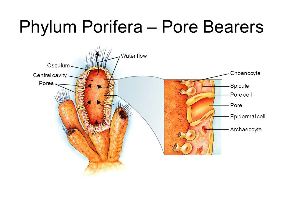Phylum Porifera - is the Phylum of sponges. They are pore bearers ...