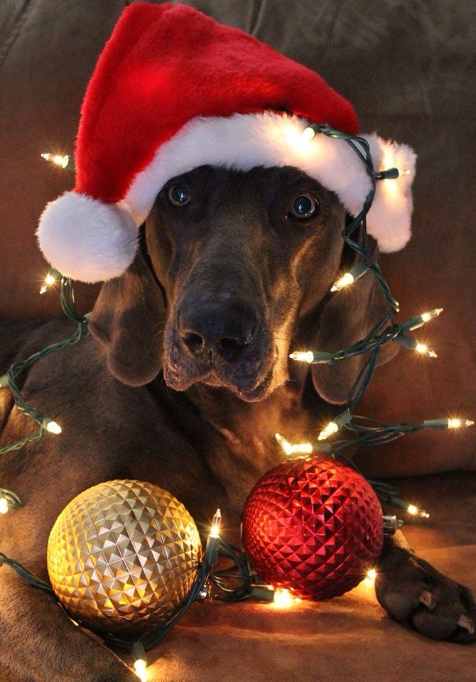 Pin by Gina Wong on Christmas | Pinterest | Dogs, Weimaraner and ...