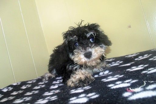Poodle (Standard)Schnauzer (Miniature) Mix Puppy for Sale