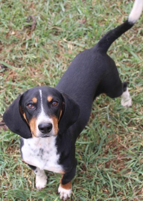 Miniature Dachshund Puppies For Sale Albuquerque Nm Puppy