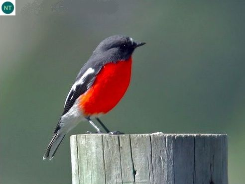 Sơn ca (ngực) lửa đông-nam Úc - Flame robin (Petroica phoenicea)(Petroicidae) IUCN Red List of Threatened Species 3.1 : Near Threatened (NT)(Loài sắp bị đe dọa)