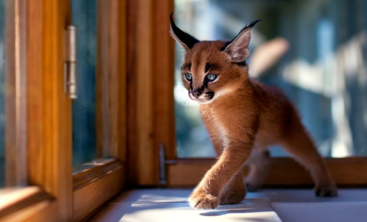 Adorable Caracal Kittens Grow Into Elegant Wild Cats That