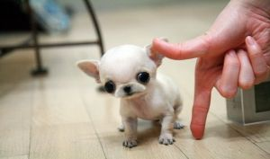 Full Grown Micro Teacup Dogs Super Micro Teacup Chihuahua 8