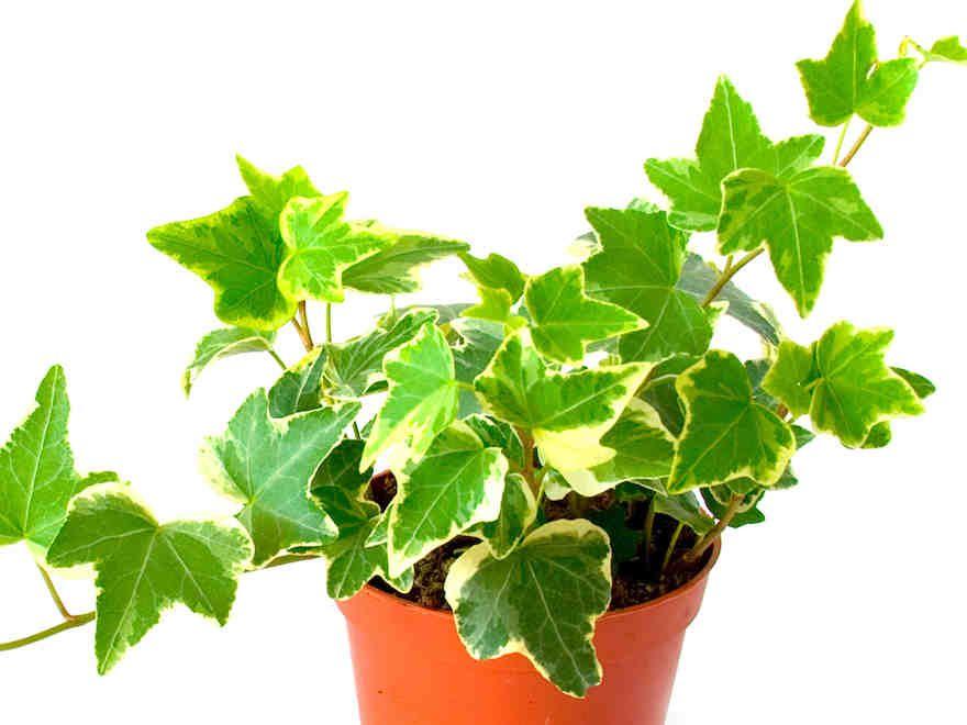 Huonekasvit tuovat kotiin raikkautta. Ne myös kosteuttavat kuivaa huoneilmaa. Vähemmän ahkeran ja innokkaan kasvienhoitajan kannattaa valita kasvit...