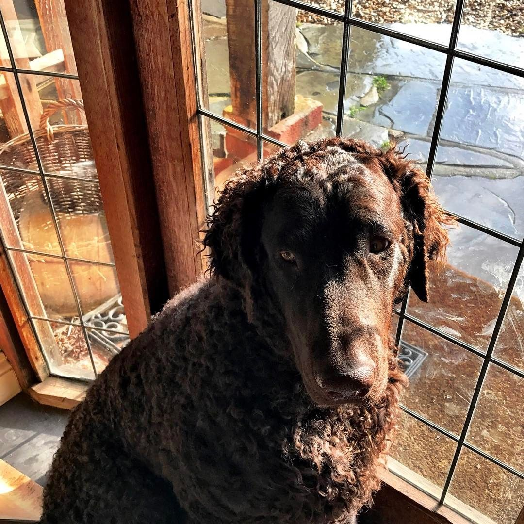 Curly Coated Retriever Classic Look Curly coated