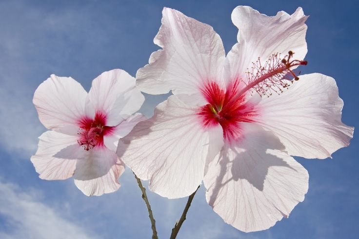 Two White Hibiscus Flowers On The Sky Background Flowers Photography Wallpaper Hibiscus Flowers Amaryllis Flowers