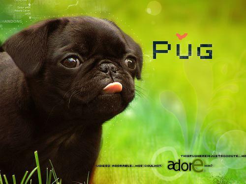 PugLove.