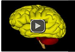 Brain - Animation
