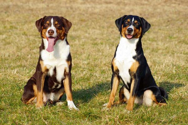 Appenzeller Sennenhund Breed Description History and