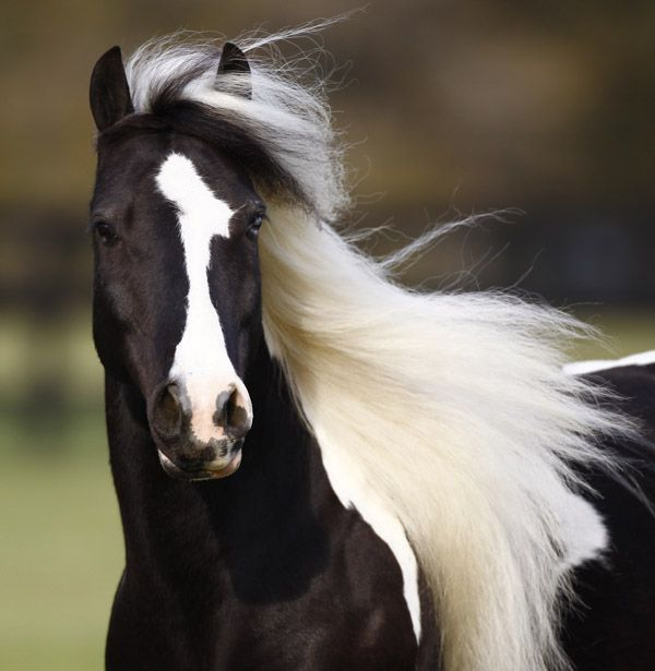 WR Pie, Gypsy Vanner... this is my horses Mother... no one is taking me serious... either she or gypsy king carry PPSM.   I love my horse but he is card to keep $$$$