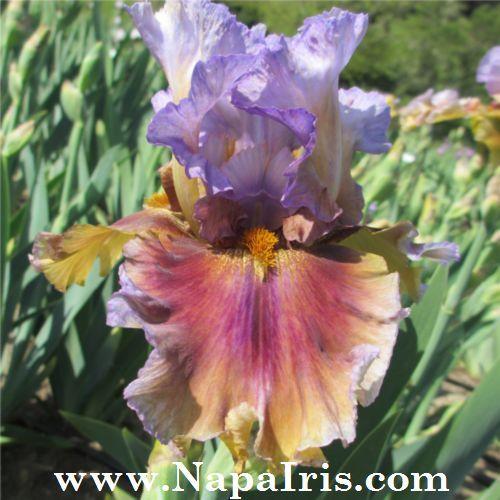 See All The Iris Available At Napa Country Iris Garden Iris Garden In Napa California Featuring Tall Bearde Beautiful Flowers Photos Iris Flowers Iris Garden