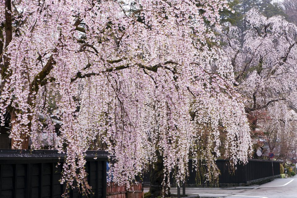 These Weeping Trees Will Have You Jumping For Joy Weeping Cherry Tree Weeping Trees Weeping Willow Tree