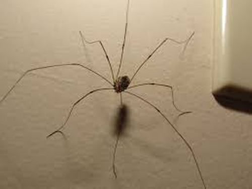 50+ Why are daddy long legs not spiders ideas in 2021