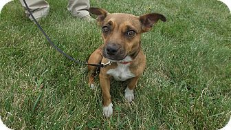 Dachshund Corgi Mix Dog For Adoption In Cincinnati Ohio Dixie