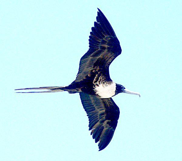 Frigate Bird | Stilts | Birds, Bird pictures, Gull